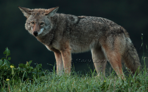Jan 2 - Coyote web