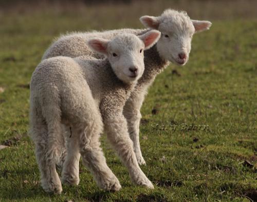 Jan 2 - Lambs web