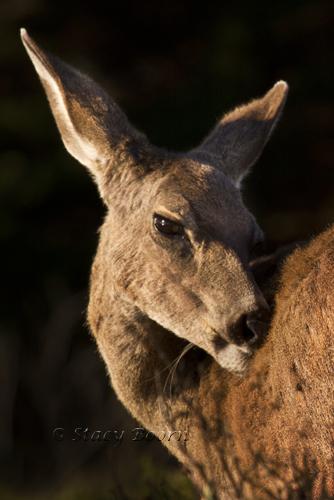 Feb 2 - Deer Face web