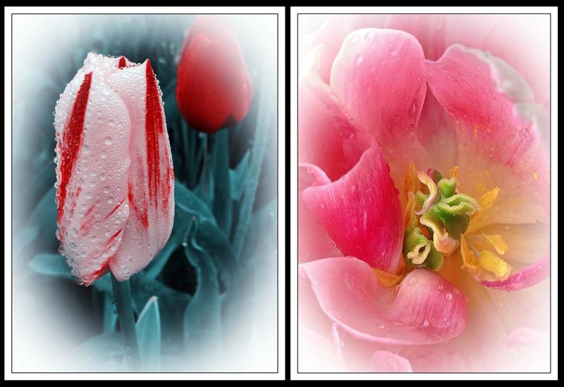 Feb 2 -Tulip Duo web