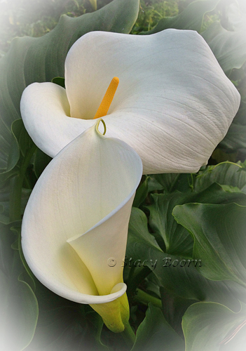 Mar1-Cala Lily 03 web