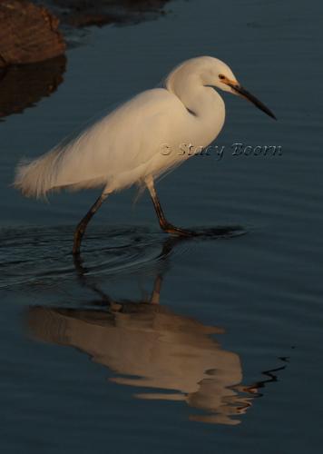 Mar1-Snowy Egret web