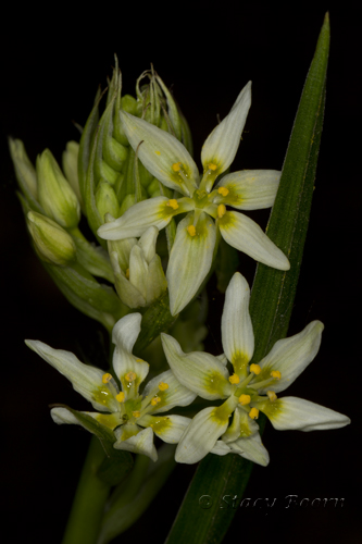 Star Lily - photographed with flash.  Marin, CA