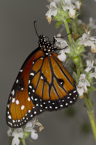 May 3 - Monarch web