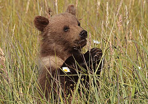 Cub in Grass 1 web