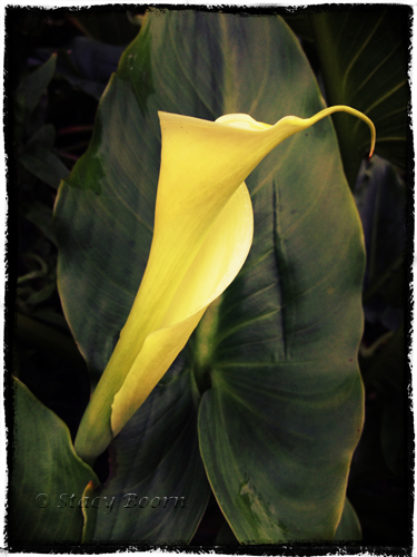 Feb 1 -Calla Lily 01 web