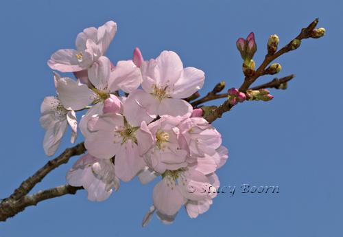 March 2 - CherryB 001web