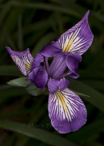 April 1 Iris WEB