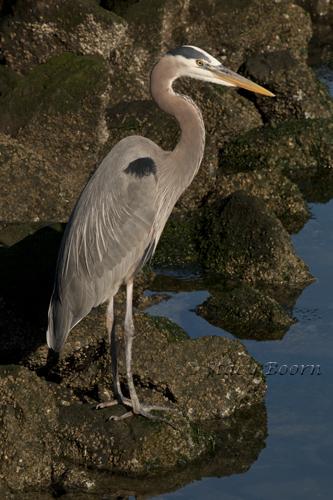 April 2 - WEB  Blue Heron