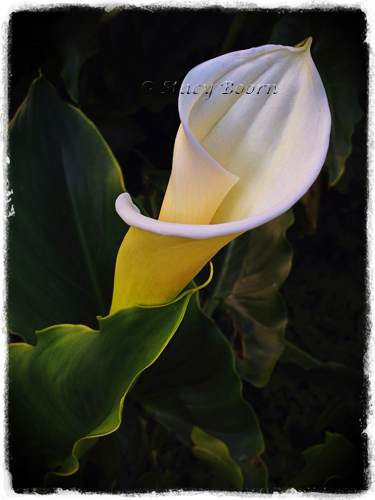 May 1 - WEB Calla Lily 007