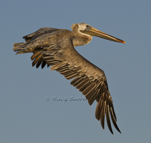 Aug 2 - Pelican WEB