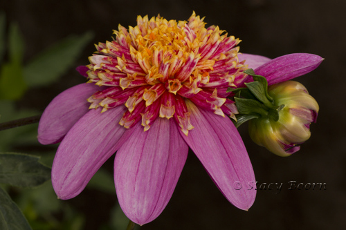 Aug 4 - Dahlia Pink WEB
