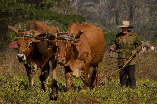 Cuba 1 - Plowing copy