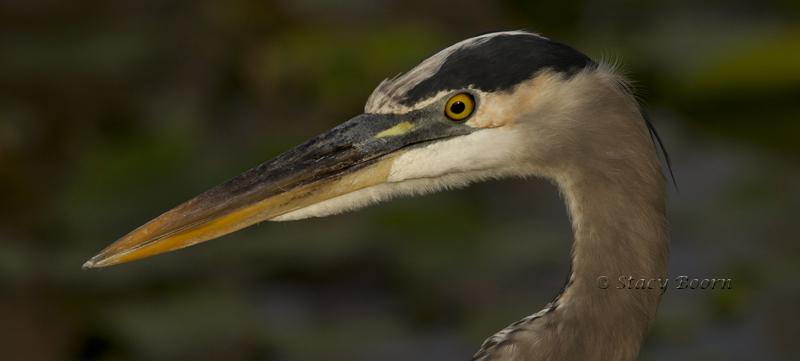 May 4 - GB Heron Head