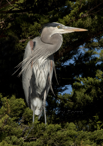 May 4 - GB Heron tree