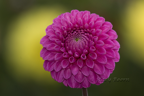 shallow depth of field make background Dahlias soft balls
