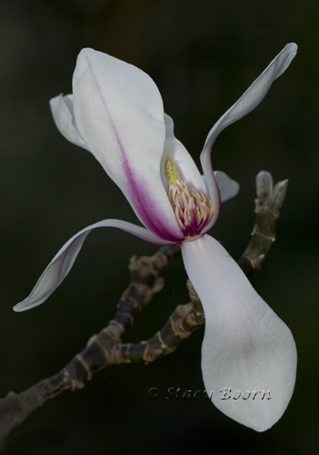 """Magnolia Zenni "" - rarest in the Garden"