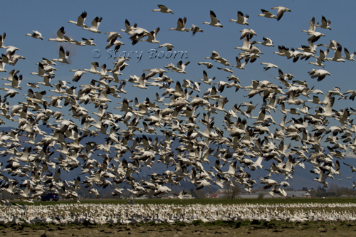 May 1 - Snow Geese Mass 2 copy