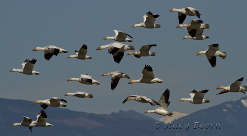 May 1 - Snow Geese Mass copy