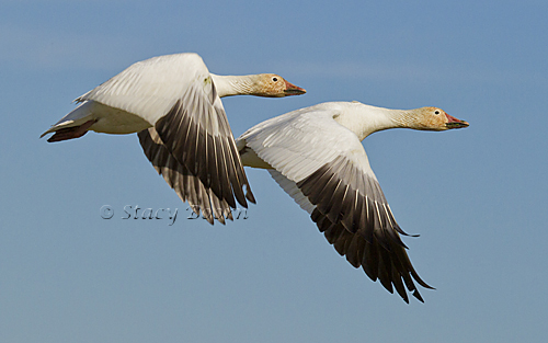 May 1 - Two Snow Geese copy