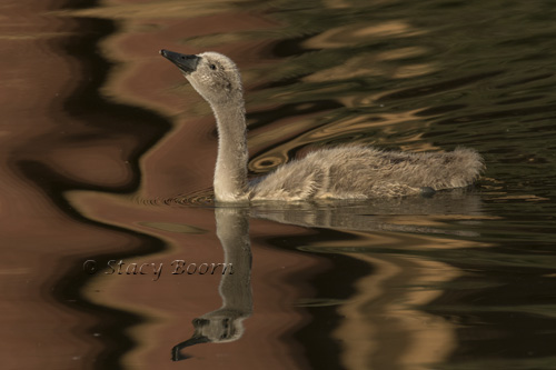 Juvenile Swan in pond reflecting Palace of Fine Arts