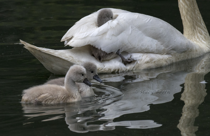 Taking a ride on mama-swan!