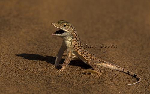 Lizard WEB