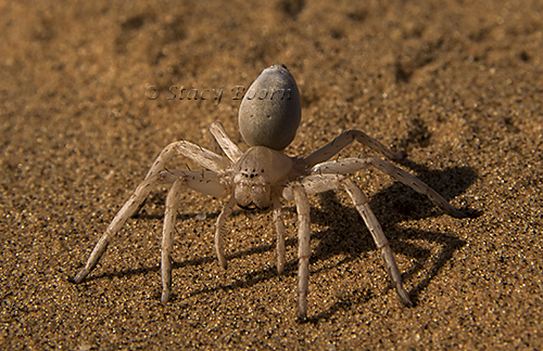 White Lady Spider lives under the sand