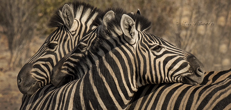 namib-a-b-zebra-heads-copy