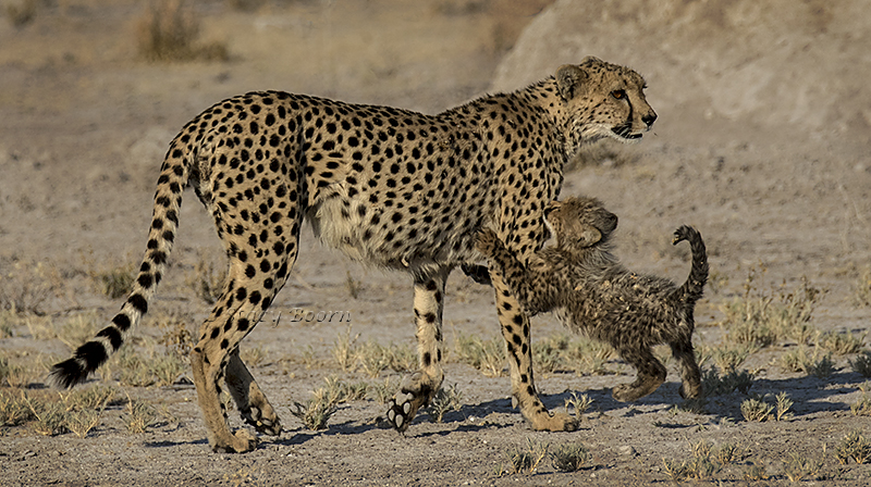 namib-a-cheetah-and-cub-copy