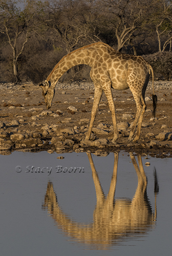 namib-a-giraffe-copy