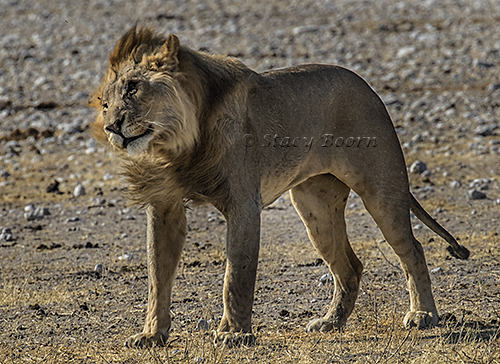 namib-a-lion-copy