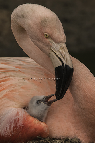 flamingo-feeding-c