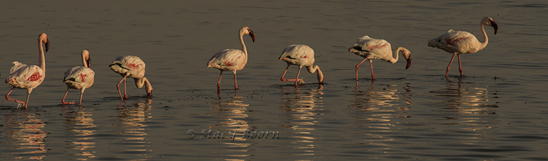 Flamingos march in Walvis Bay, Namibia