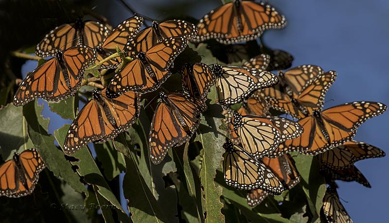 nov-4-monarchs-web