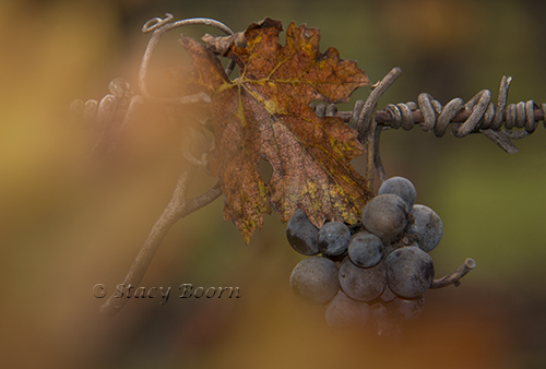 dec-1-grapesleaf-web