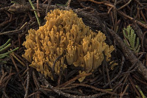 Greening Coral Fungi